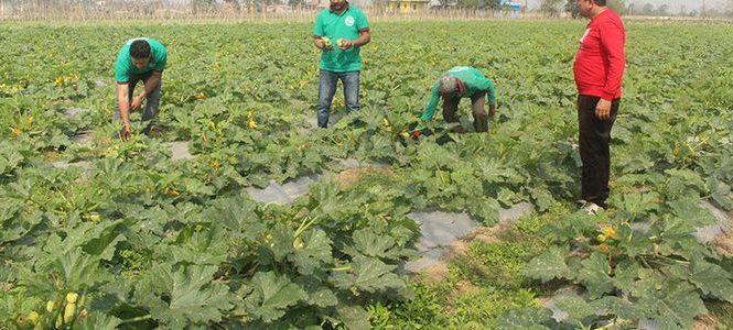विदेश छाडेर गाउँमै प्राङ्गारिक तरकारी खेती