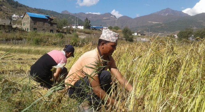 पाक्यो मार्सी धान, किसानलाई भित्र्याउन चटारो