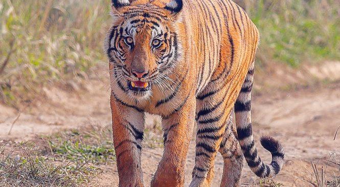 बाँसगढीको राँझामा बाघ आतंक