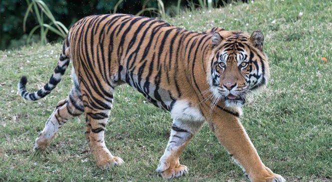 बाघको सबैभन्दा लामो पैदल यात्रा, साथीको खोजीमा ३ हजार किलोमिटर यात्रा