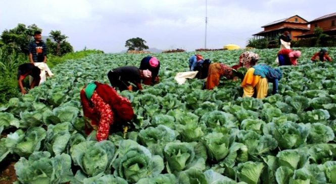 दहपानीका महिला व्यावसायिक कृषि पेशामा