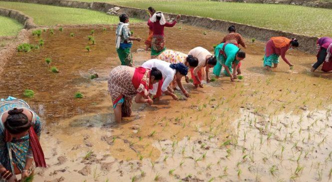 ब्याड राख्ने बेलामा धानको बीउ अभावः भारतीय बजारमाथि किसान निर्भर